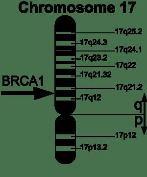 300px-brca1_en2_wikipedia_cc